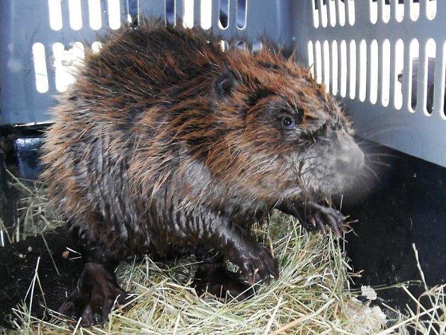 Hasičský sbor Praha zachránil bobra