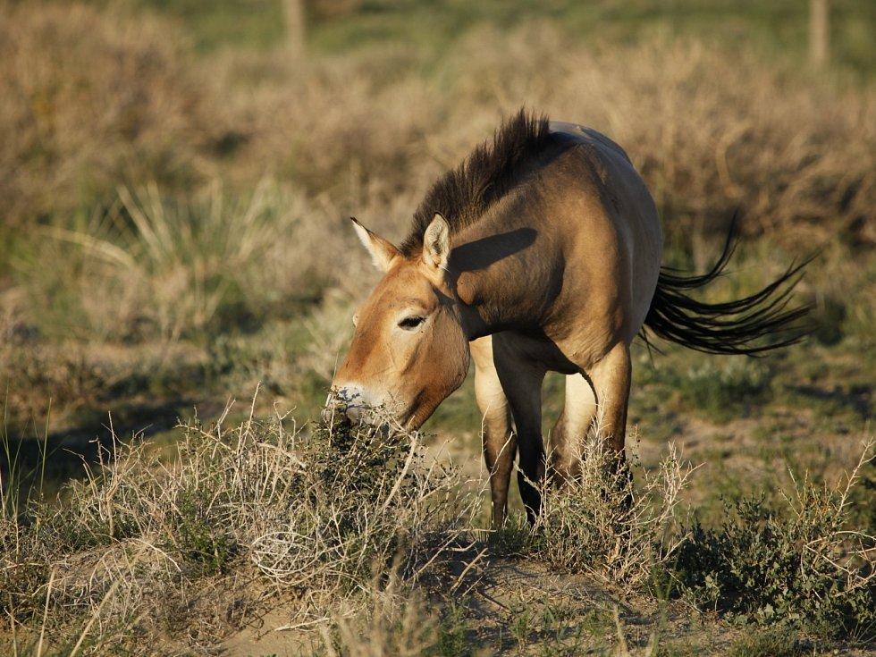 kůň Převalský v Mongolsku