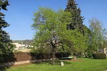 Praha má další významné stromy