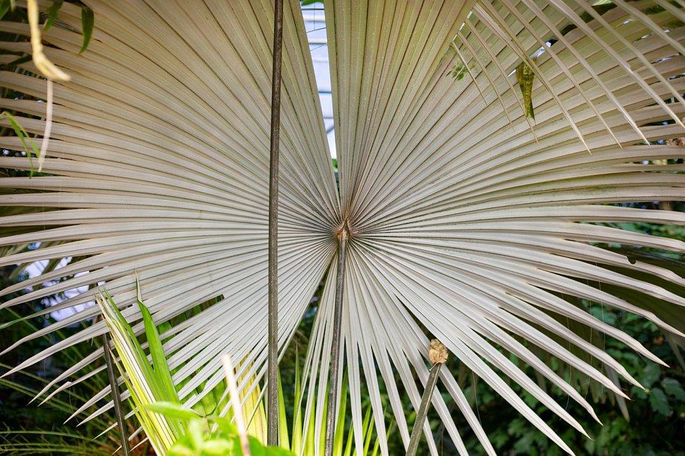 List bílé sloní palmy.