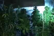 Policejní detektivové odhalili velkopěstírny marihuany.