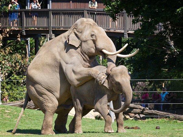 Otcem očekávaného slůněte je býk Mekong, který Janitu loni vlétě několikrát úspěšně pářil.