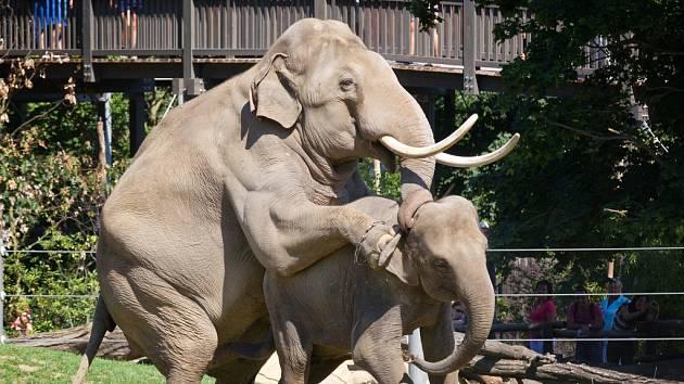 Otcem očekávaného slůněte je býk Mekong, který Janitu loni v létě několikrát úspěšně pářil.