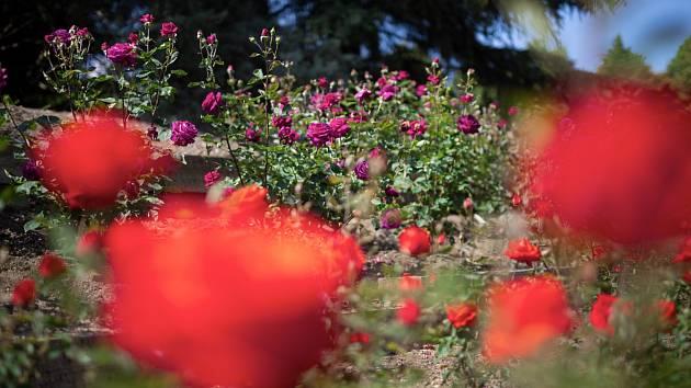 Růže v pražské botanické zahradě.