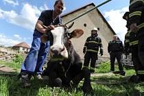 záchrana krávy