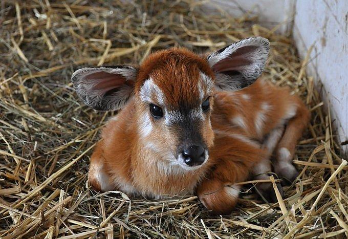 První fotografii samečka sitatungy západoafrické pořídil veterinář během preventivní prohlídky hned v den porodu.