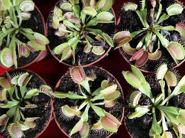 Výstava Masožravky ve skleníku Fata Morgana a v prostorech před skleníkem potrvá do 13.září. Výstava představuje pozoruhodný a rozmanitý svět masožravých rostlin, kterých je mnoho druhů.