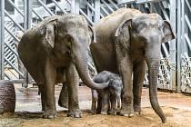 Slonice Tamara (vlevo) se v pražské zoologické zahradě setkala s Janitiným mládětem, seznámení bylo velmi přátelské.