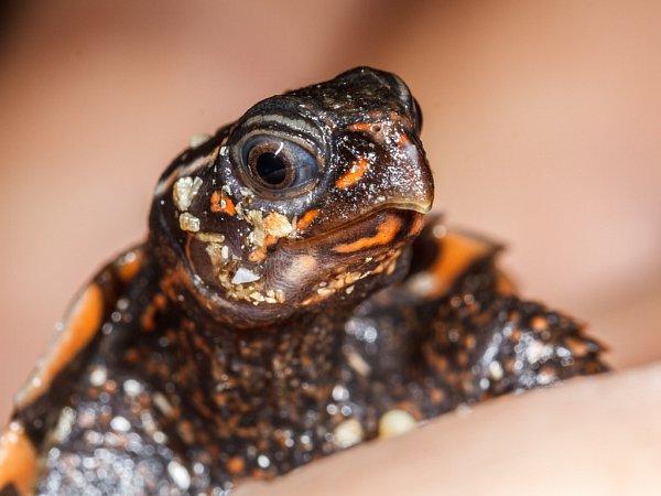 Mládě želvy Spenglerovy vpražské zoologické zahradě.