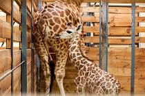 v Zoo Praha se narodilo již 75. mládě žirafy v historii zdejšího chovu