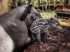 Miminko tapíra čabrakového se narodilo matce Indah a otci Nikovi