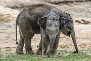 Slůňata se v Zoo Praha často přetlačují a zjišťují, které z nich má více síly.
