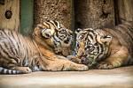 Od čtvrtka budou moci návštěvníci v Zoo Praha vidět dvě mláďata tygra malajského.