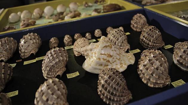 V sále Kulturního domu Ládví se o víkendu konala ojedinělá výstava mušlí. Velkou atrakcí byla zéva obrovská, která váží 40 kilogramů.