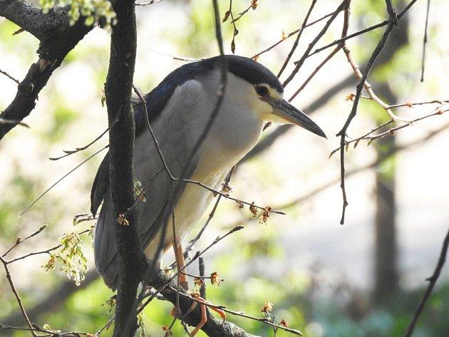 Samička kvakoše nočního s označením K57 se vrátila na své hnízdiště v pražské zoo.