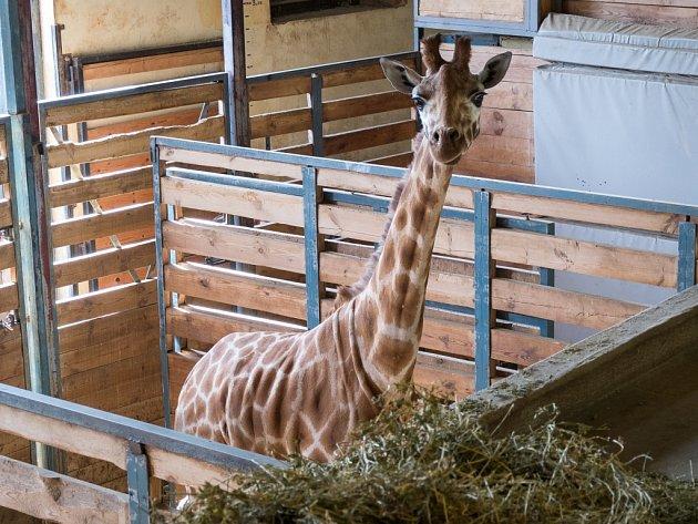 Nová samice žirafy severní núbijské v novém domově, krátce po vyložení.