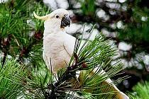 NEPŘEŽIL. Jeden z dvojice papoušků, kteří se rychle stali atrakcí okolí obory Hvězda, se stal pravděpodobně obětí mrazivého počasí minulých dnů.