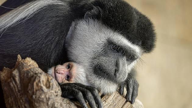 V Zoo Praha se narodila gueréza pláštíková.