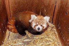 Návštěvníci zoo v Praze teď mohou při troše štěstí zahlédnout hned u hlavního vchodu vzácný přírůstek – mládě pandy červené.