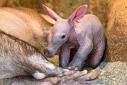 Mládě hrabáče kapského denně přibývá na váze zhruba 150 gramů; dnes už váží přes tři kilogramy.