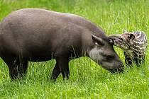 Mladá samička tapíra jihoamerického se narodila letos 29. dubna. Na fotografii se svou matkou samicí Taluen.