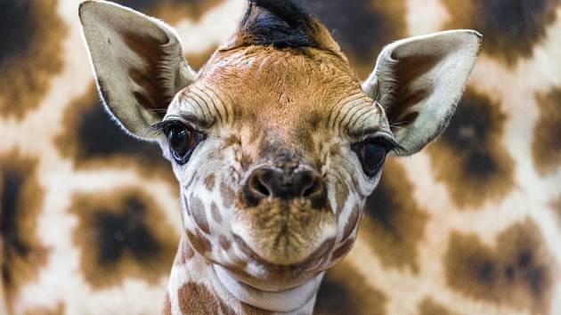Nové mládě žirafy Rothschildovy.