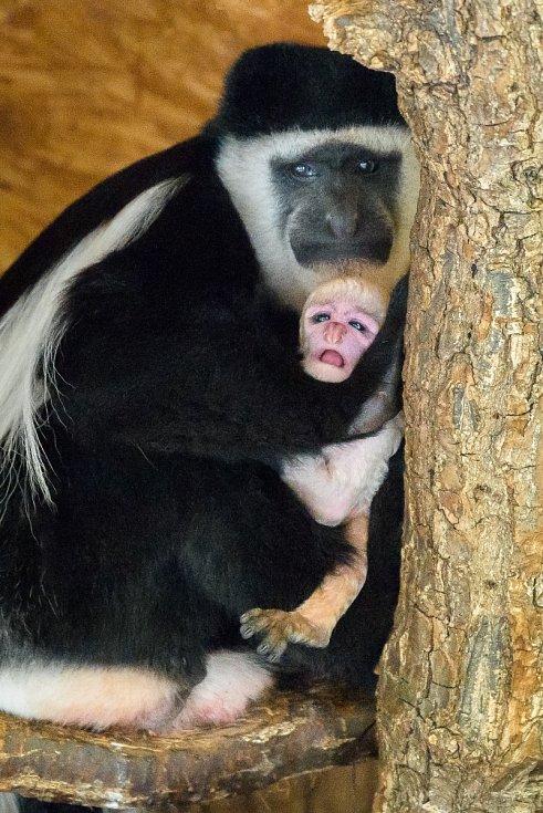 Návštěvníci se na něj mohou přijít podívat do dolní části zoo, kde guerézy obývají jeden z Opičích ostrovů.