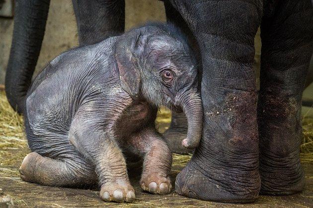 Jako každé novorozeně isloní sameček často spí, nejčastěji vleže na boku.