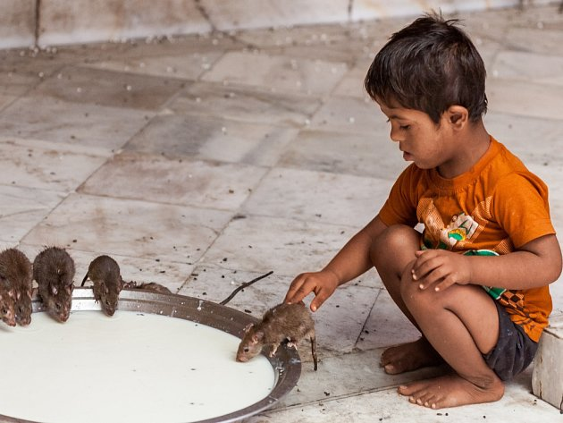 Exotický zážitek, který se vymyká veškerým dosavadním zkušenostem Středoevropana. Taková je návštěva hinduistického chrámu Karní Matá v indickém státu Rádžastán. Uctívaných krys tam údajně žije na dvacet tisíc!