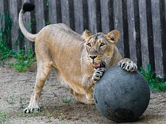 Lvice Ginni si ve venkovním výběhu v pražské zoologické zahradě ráda hraje s balonem.