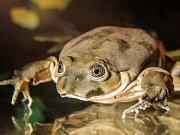Zoo Praha získala vodnice posvátné, vzácné žáby z jezera Titicaca.