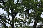 Oblíbené mládě guarézy pláštíkové se skrývá na stromech