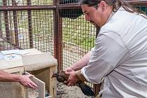 Kurátor ptáků Zoo Praha Antonín Vaidl umisťuje bažanta Edwardsova do transportní bedny.