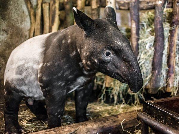 Sameček tapíra čabrakového vpražské zoologické zahradě.