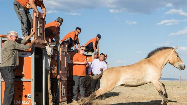 První kůň Převalského vypuštěný v rámci sedmého transportu Zoo Praha byla klisna Naya, která byla vypuštěna ředitelem Zoo Praha, Miroslavem Bobkem společně s prezidentem International Takhi Group Thomasem Pfistererem.