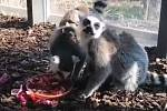 V pražské zoo se narodila lemuří dvojčata.
