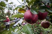 Sklizeň jablek. Ilustrační foto.