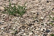 Malou agamu Phrynocephalus versicolor je na snímku třeba pečlivě hledat. Stejně jako v přírodě, v mongolské Gobi.