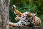 Samice tygra malajského Banya.