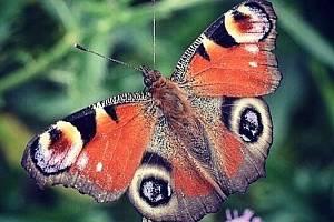 Hledejte pražské motýly, vyzývají entomologové veřejnost.