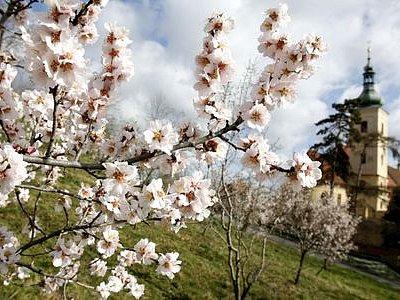ROZKVETLÝ PETŘÍN. Devadesát sedm nových ovocných stromů bude připomínat zachráněné děti./Ilustrační foto