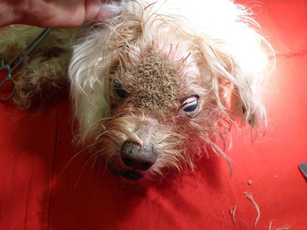 V šokujícím stavu se dostal do útulku pro opuštěná zvířata, který v Troji provozuje městské policie, asi 13letý maltézský psík, který původně ležel u radotínského domova důchodců.