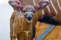 Samička bonga horského se narodila v pátek 27. února v pražské zoologické zahradě jako druhé mládě samice Maureen a samce Chadima.