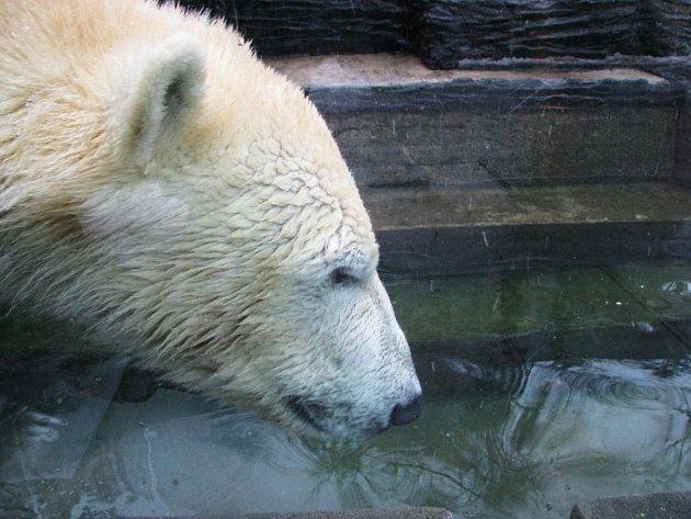 CESTOVATEL. Nový přírůstek Tom si na karanténu špatně zvykal, a tak mu medvědice Bora musela přenechat venkovní výběh.