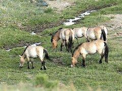KONĚ v národním parku Hustai Nuruu.