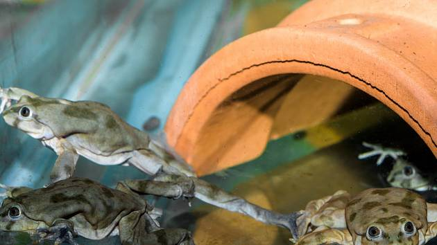 Vodnice posvátné, vzácné žáby z jezera Titicaca.