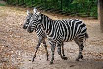 Zoo Praha získala dvě zebry bezhřívé – čtyřměsíční hříbě Kevina a jeho matku, osmiletou klisnu Kleu.