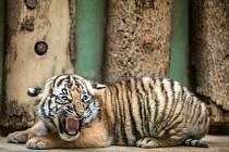 Malajská tygřata v pražské zoo byla dnes představena médiím a veřejnost je uvidí od čtvrtka.