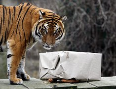 Tygři dostali místo běžné stravy vánoční balíček, který si museli i rozbalit.