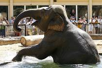 VÝMĚNA. Pražské slonice si budou muset zvykat na nového samce. S německým přízvukem.